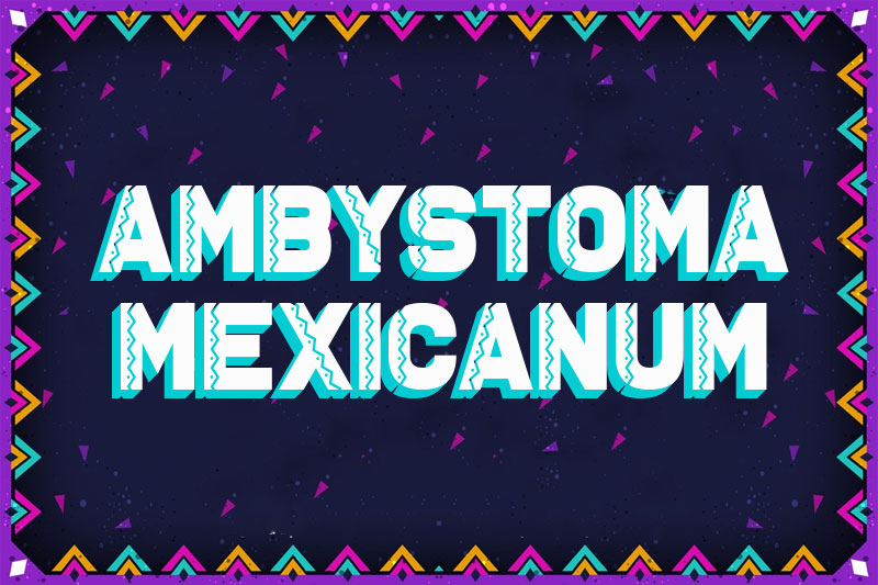 ambystoma mexicanum mexican font